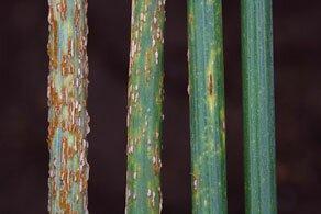 Ug99-стеблевая-ржавчина-пшеницы